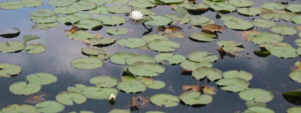waterliliesfacebook