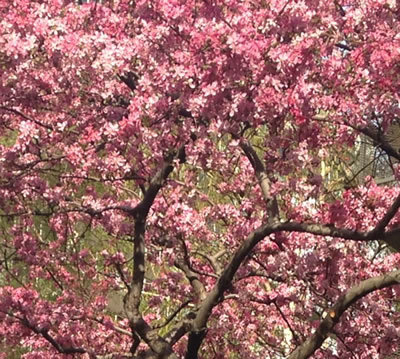 NYC Cherry Blossoms