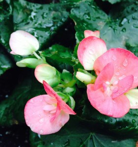 Begonia=Balance Each seeks her/his own balance in order to stabilize herself/himself. Perfect Balance is one of the most important conditions of a growing peace
