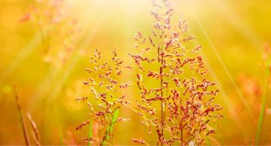 golden-grass