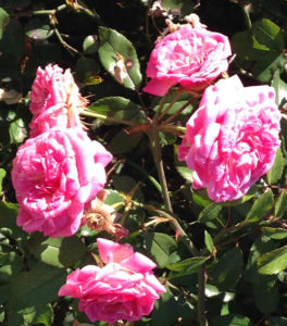 gg-nov-roses-exp